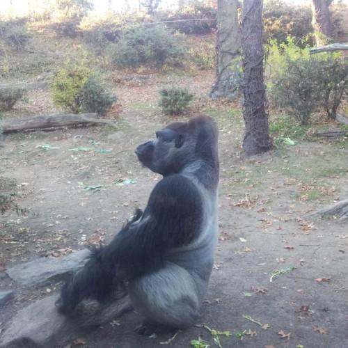 גורילות בגן החיות ברונקס