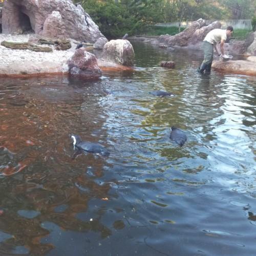 פינגווינים בגן החיות ברונקס