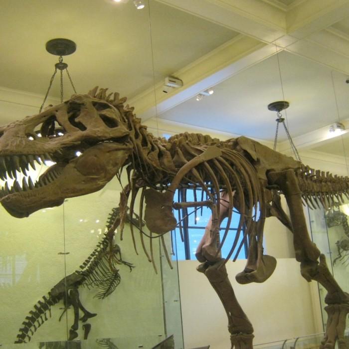 שלד של דינוזאור מוזיאון הטבע האמריקאי