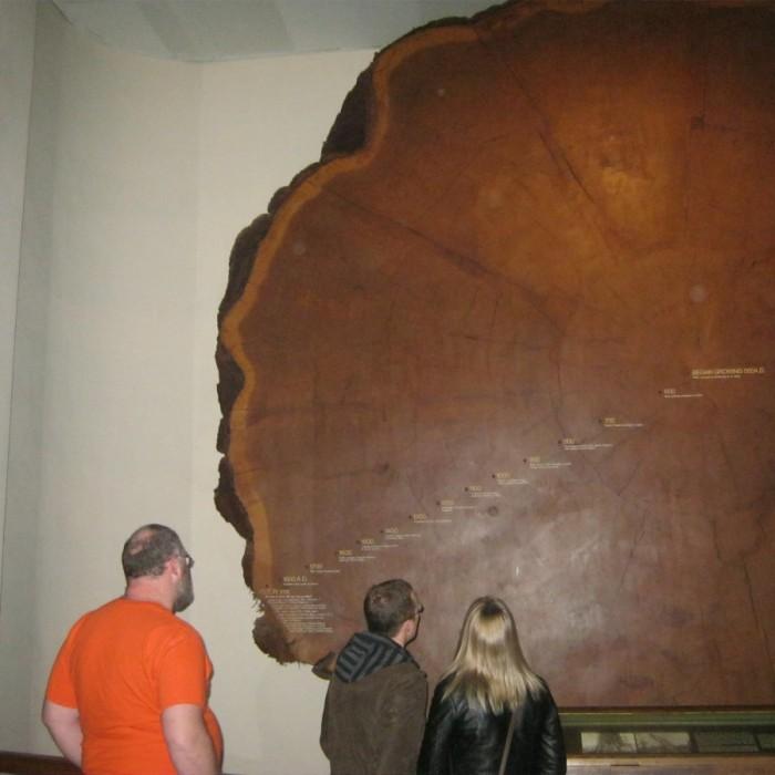 עץ סקויה בן 1400 שנים מוזיאון הטבע האמריקאי