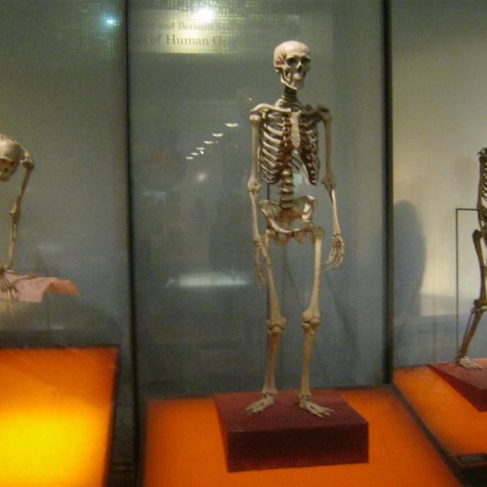 שלדי אדם מתקופות שונות מוזיאון הטבע האמריקאי