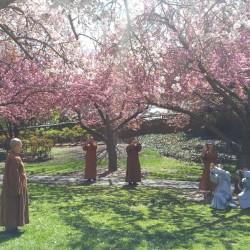 פריחת הדובדבן באביב ניו יורק